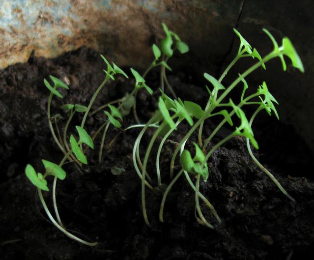 drobné rostlinné klíčky